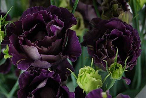 Red 8 graines: Lentils Heirloom Jardin Graines de légumes Asperges biologiques Non OGM Violet s Leek