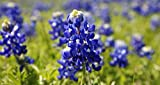 Texas Bluebonnet 15 Seeds!