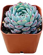 "Succulent Plant Echeveria Rare Succulent Variety Rooted in 2"" Planter, Houseplant for Terrarium, Wedding Favor"