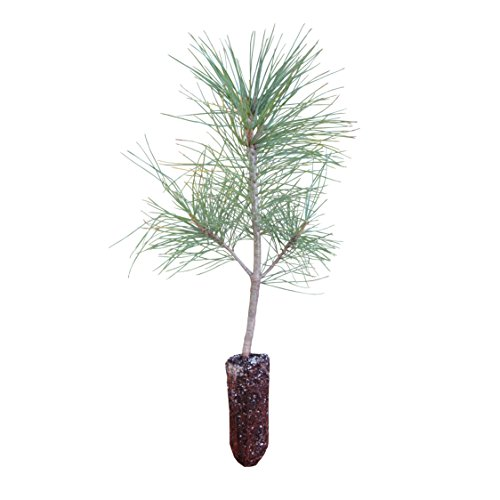 Himalayan Pine | Medium Tree Seedling | The Jonsteen - Christmas Everest Tree
