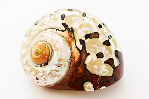 Large Polished Turbo Sarmaticus Shell (3'' - 3 1/2) 1 1/2 opening Beach Crafts Nautical Decor Large Hermit Crabs - Florida Shells and Gifts by Florida Shells and Gifts Inc.
