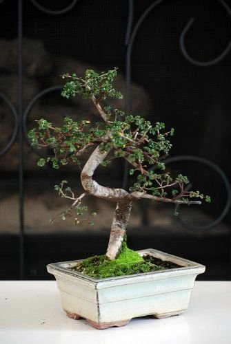 Elm Bonsai Tree Chinese (Chinese Elm Bonsai Tree Plant Nature Live Pot Indoor Outdoor Home Decoration)