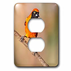3dRose Danita Delimont - Birds - Brazil, Mato Grosso, The Pantanal, Orange-backed Troupial on a branch. - Light Switch Covers - 2 plug outlet cover (lsp_258348_6)