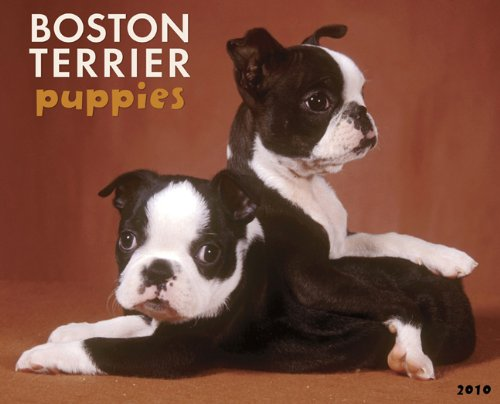 Boston Terrier Puppies 2010 - Terrier Calendar Puppies 2010