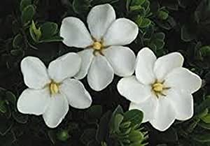 100 Plants Gardenia, Kleims Hardy - White Fragrant Flowers,