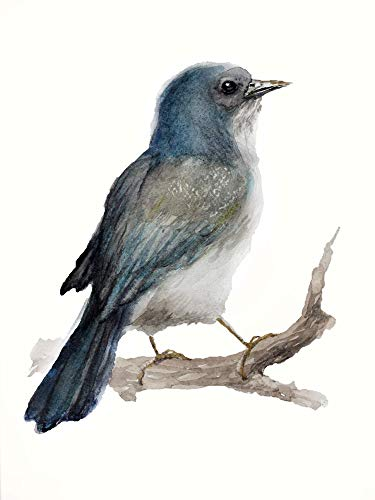 (California Scrub Jay Watercolor PRINT art Bird print for nursery. Fine art Animal Woodland Prints Forest wildlife Home decor bird art print 8 x 10 inches Unframed)