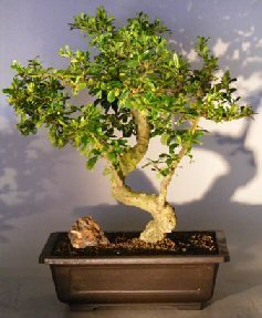 (Bonsai Boy's Flowering Fukien Tea Bonsai Tree with a CURVED TRUNK and TIERED BRANCHING ehretia microphylla)