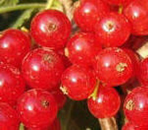 RED Lake Currant Fruit Shrub Small Tree with Sweet Edible Berry Live Plant JND062 ()