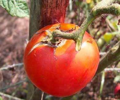 David's Garden Seeds Tomato Slicing Marglobe VF (Improved) MEB119Z (Red) 25 Organic Seeds