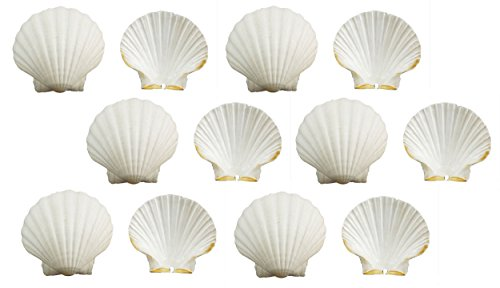 US Shell, 12 Pieces, Irish Deep Sea Shells, 11 to 12 Centimeters in Size ()