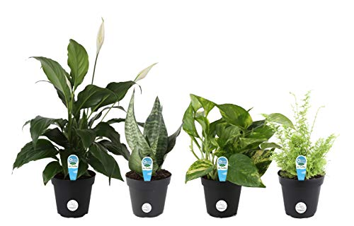 Costa Farms Clean Air - O2 For You For You Live House Plant Collection 4-Pack, Assorted Foliage, 4-Inch, Green