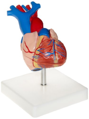 American Educational 7-1415 Life-Size Human Heart Model on Base, Plastic, 6 x 5 x 6 Inches