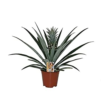 Pineapple Champaca Green Plant With Pineapple Fruit Growing In A