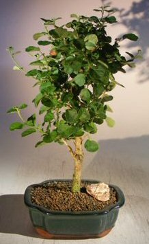 Bonsai Boy's Flowering Yellow Mallow Hibiscus Bonsai Tree paronia praemorsa by Bonsai Boy