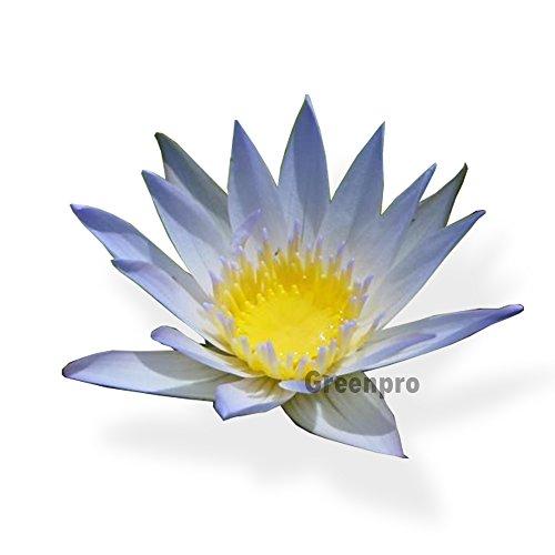 GreenPro Live Aquatic Plant Pale Blue Nymphaea Daubenyana Tropical Water Lilies Tuber for Aquarium Freshwater Fish ()