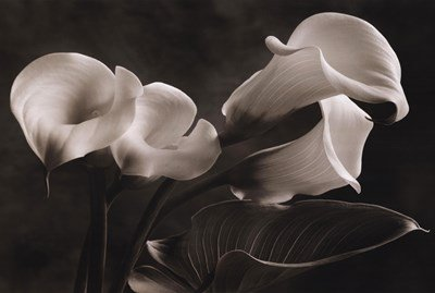 Calla Lily by Sondra Wampler - 36x24 Inches - Art Print (Sondra Wampler Calla Lilies)