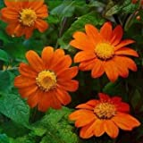 Outsidepride Mexican Sunflower Orange - 500 Seeds