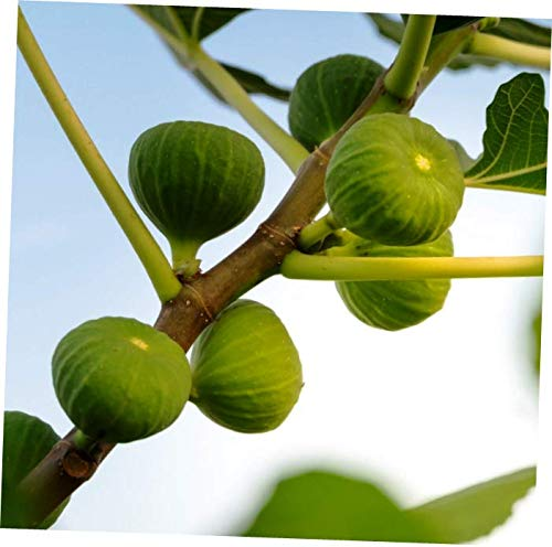 ELLA Plant Hardy FIG Fruit Tree Green Ischia Plant Verte, Strawberry, Figue D'Espagne Couer - EB174 ()