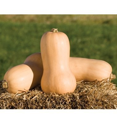David's Garden Seeds Squash Winter Waltham Butternut D671A (Tan) 50 Organic Heirloom Seeds