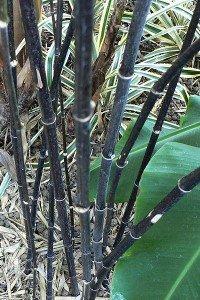 Phyllostachys Nigra, Black Bamboo #1 Size Live Plant