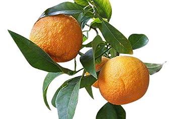 Dreiblättrige Orange Poncirus trifoliata ca 100 cm winterhart