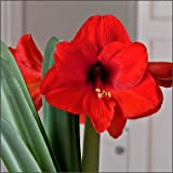 5 Red Lion Amaryllis Bulbs. Special Holiday Bulk Pricing! Wonderful to Gift As-is to Your Friends, or Jazz These Bulbs up Yourself with Clever Packaging to Put Your Own Style Into Your Gift!
