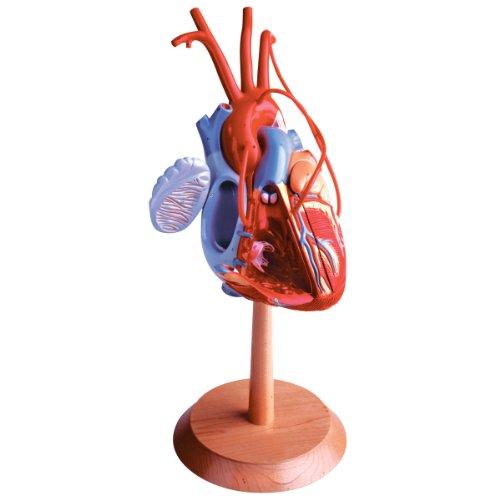 [해외]디노이 어 geppert 트 0139-00 관상 동맥 우회 베 셀 모델로 미국의 새로운 심장 / Denoyer Geppert 0139-00 The New Heart of America with Coronary Bypass Bessels Model