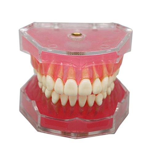 Dentalmall® 1 Pc Dental Demonstration teeth Model - Standard Study Teaching dental mode with all Removable Teeth #4004 (Teeth Demonstration Model)