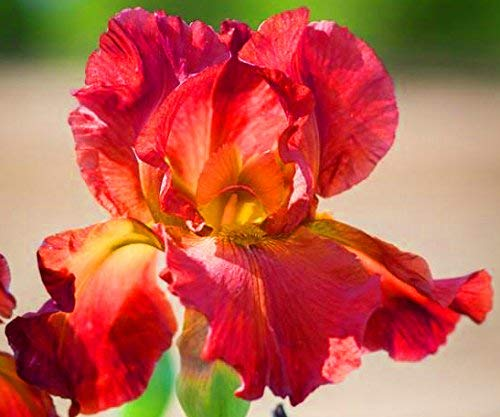 Red Bearded Iris - 4 Bulbs - Reblooming Fragrant Garden Flowers Balcony Potted Planting Now!