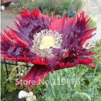 1000 Drama Queen Poppies. Papaver Poppy Seeds.~easy to grow, rare variety bonsai plant SVI