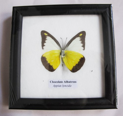 FRAMED REAL BEAUTIFUL CHOCOLATE ALBATROSS BUTTERFLY DISPLAY INSECT TAXIDERMY 5X5X1