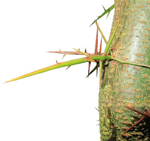 Christusdorn 20 frische Samen -Gleditsia triacanthos- Samenchilishop