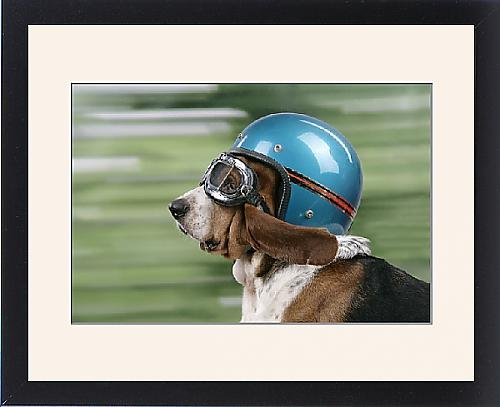 Framed Print of DOG. Basset hound wearing goggles a helmet by Prints Prints Prints