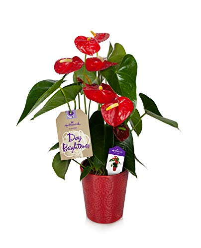 Happy Hearts Red Anthurium Plant 15-Inch To 18-Inch Tall In Red Ceramic Container, From Hallmark Flowers ()