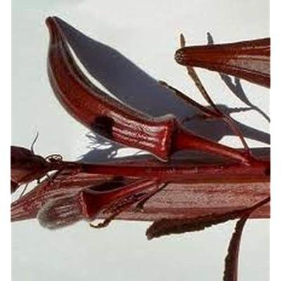 AchmadAnam - 50 Seeds Burgundy Okra : Garden & Outdoor