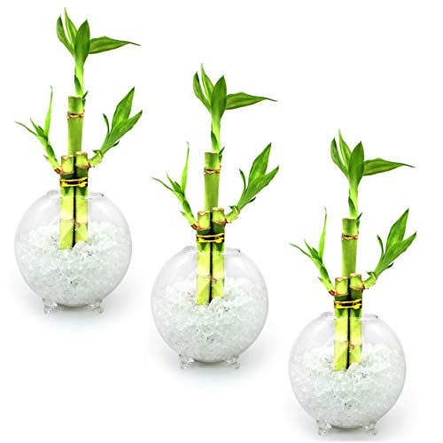 (NW Wholesaler - Set of 3 Live Lucky Bamboo 3 Stalk Arrangements in Glass Orb Vase Terrariums with Colored Glass Pebbles (Clear))