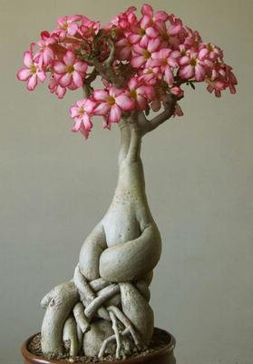 Nuevos 5pcs / bolso auténticos Semillas Adenium obesum Macetas Macetas arco iris rosa del desierto Semillas