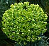 5 graines d'EUPHORBE DES GARRIGUES(Euphorbia Characias)G905 SEEDS SAMEN SEMILLAS