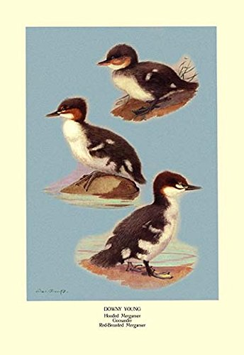 """Three Downy Young Ducks Museum quality giclee print canvas wrap(20"""" x 30"""")"""
