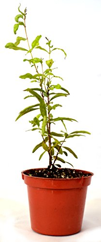 9GreenBox - Dwarf Pomegranate Mame Bonsai - 3