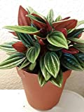 Peperomia Rosso Caperata Plant House Plant Gift Indoor Plant Easy Care. FS