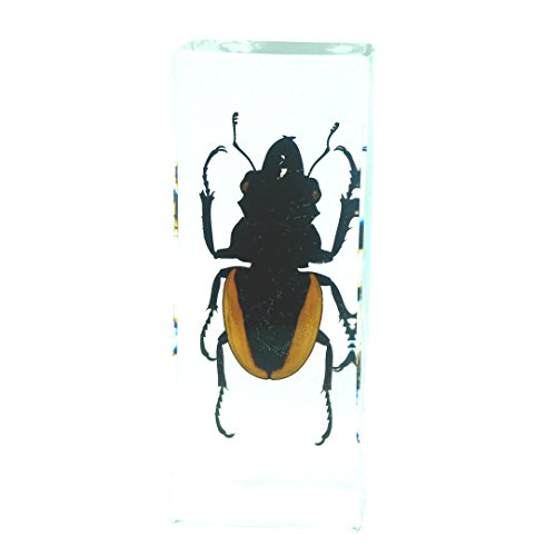 Orange Stag Beetle Paperweight Insect Bug Collection Specimen Taxidermy-Large(4.3x1.7x1.1