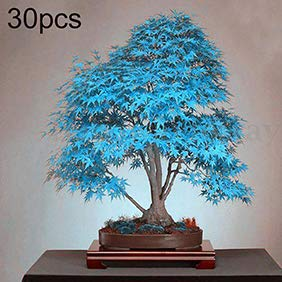 Blue Maple Tree Seeds,mage2pnper 30Pcs Blue Maple Tree Seeds Ornamental Plant Miniascape Garden Yard Bonsai Decor - Blue Maple Tree Seeds