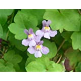 100 KENILWORTH IVY Ivy-Leaved Toadflax Vine Flower Seed