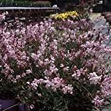 Gaura lindeheimeri Pink Fountain 72 plants USA Wand Flower Zone 5-10
