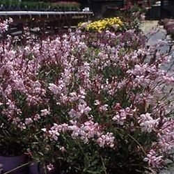 Gaura lindeheimeri Pink Fountain 72 plants USA Wand Flower Zone 5-10 by rainforestroseplants