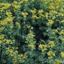 Herb Seeds - Rue - 200 Seeds