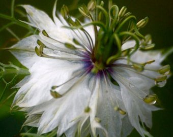 New Nigella Sativa - Black Cumin , ROMAN CORIANDER - Four Spice - 340 + Seeds !