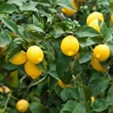 35-Seeds-Dwarf-Meyer-Lemon-Tree-indooroutdoor