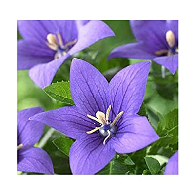 Balloon Flower Seeds- Torji - Chinese Bell Flower Seeds - Roots are Edible. Chinese Medicine Anti-inflammatory : Garden & Outdoor